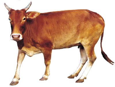Jawari