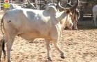 (English) Why Indian Cow called the Mother of Human Being?